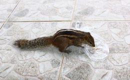 Indisches Palmeneichhörnchen isst Nüsse Lizenzfreie Stockfotografie