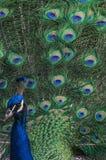 Indisches peacok, das seine Endstückväter auflockert Lizenzfreie Stockfotos