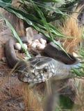 Indisches Rattenschlangenmodell stockfoto