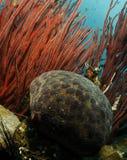 Indisches Seekissen mit roter weicher Koralle Lizenzfreies Stockfoto