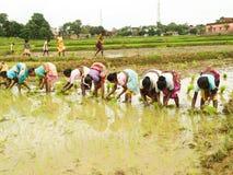 Indisches vilaage Frauenbetriebsreisgras lizenzfreie stockfotos