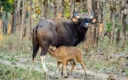 Indisk bison eller Gaur som mjölkar hennes kalv royaltyfri fotografi