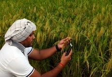 Indisk bonde som kontrollerar tillväxt av risfältlantgården och gör appell med den smarta telefonen Arkivfoton