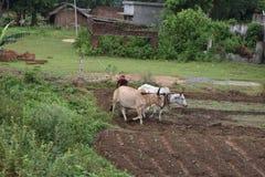Indisk bonde som plogar hans fält med oxar royaltyfri bild