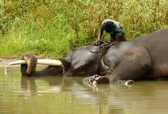 Indisk elefant Fotografering för Bildbyråer