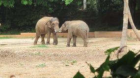 Indisk elefant Royaltyfria Bilder