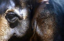 Indisk elefant Arkivfoton