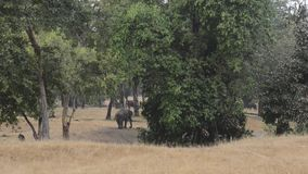 Indisk elefant i skogen på nationalparken, Indien arkivfilmer