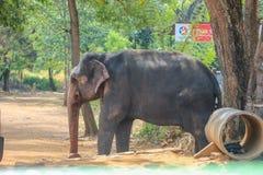 Indisk elefant - Sri Lanka royaltyfri foto