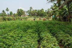 indisk by Fält av sötpotatisar Början av plockningen Royaltyfri Fotografi