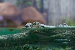Indisk gharial krokodilsimning i en skärmbehållare Royaltyfri Bild