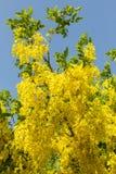 Indisk gullregnblomma Royaltyfria Foton