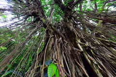 Indisk gummiträd Arkivfoto