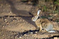Indisk hare i livsmiljö Royaltyfria Bilder
