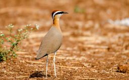 Indisk harhundfågel royaltyfri bild