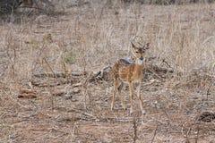 Indisk hjortaxelaxel i den Yala nationalparken Royaltyfria Bilder