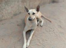 Indisk hund från vaket arkivbilder