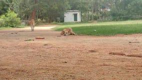 Indisk hundkapplöpning Arkivbilder