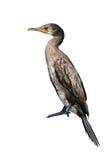 Indisk kormoranfågel Arkivfoton