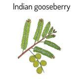 Indisk krusbärPhyllanthus emblica, eller emblicmyrobalan, robalan, Malacca träd, amla med sidor och bär Royaltyfria Bilder