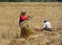 Indisk kvinna som arbetar i fältet Arkivbild