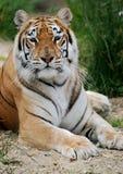 indisk läggande tiger royaltyfri bild