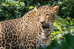 Indisk leopard i djungel arkivfoton