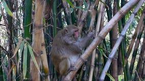 Indisk Macaque med en kluven kant stock video