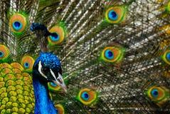 indisk male påfågel royaltyfri bild