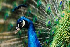 indisk male påfågel Royaltyfri Fotografi