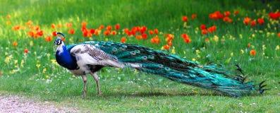 indisk male peafowl Royaltyfri Foto