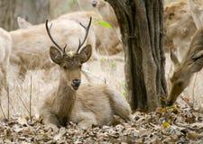 indisk male swamp för hjortar arkivfoto
