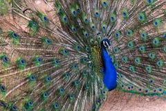Indisk man för påfågelPavocristatus som fördelar dess fjädrar som av visar färger royaltyfria foton