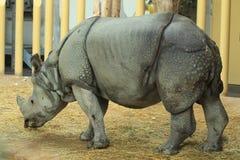 indisk noshörning Arkivbild