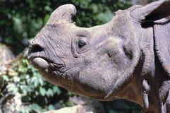 indisk noshörning Fotografering för Bildbyråer