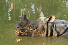 indisk noshörning Arkivfoto