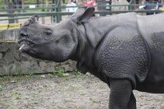 indisk noshörning Royaltyfria Bilder