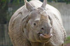 indisk noshörning Arkivbilder
