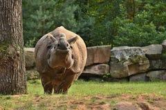 Indisk noshörning i den härliga naturen som ser livsmiljön Arkivbilder