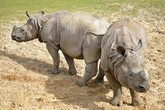 Indisk noshörning på jordning Fotografering för Bildbyråer