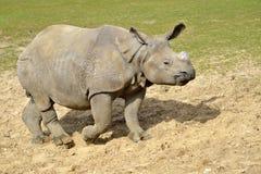 Indisk noshörning som går på jordning arkivbild