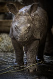 Indisk noshörningkalv precis få gamla dagar i fångenskap Royaltyfria Foton