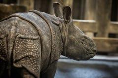 Indisk noshörningkalv precis få gamla dagar i fångenskap Royaltyfri Fotografi