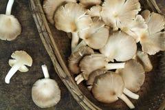 Indisk ostron, Phoenix champinjon, Lung Oyster Royaltyfria Foton