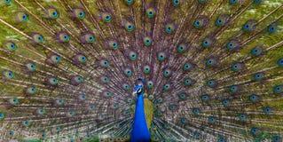 indisk påfågel arkivbild