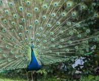 Indisk påfågel eller blå påfågel, Pavocristatus som vänder mot kameran som visar upprätta fjädrar royaltyfri foto
