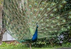 Indisk påfågel eller blå påfågel, Pavocristatus som visar upprätta fjädrar arkivbilder