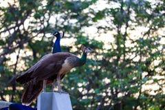 Indisk påfågel och påfågelshöna royaltyfri fotografi