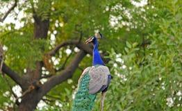 Indisk påfågel - Peafowl Royaltyfri Fotografi