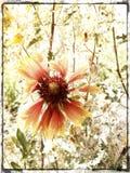 indisk paintbrush Royaltyfri Foto